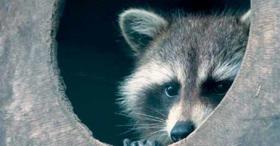 raccoon-image